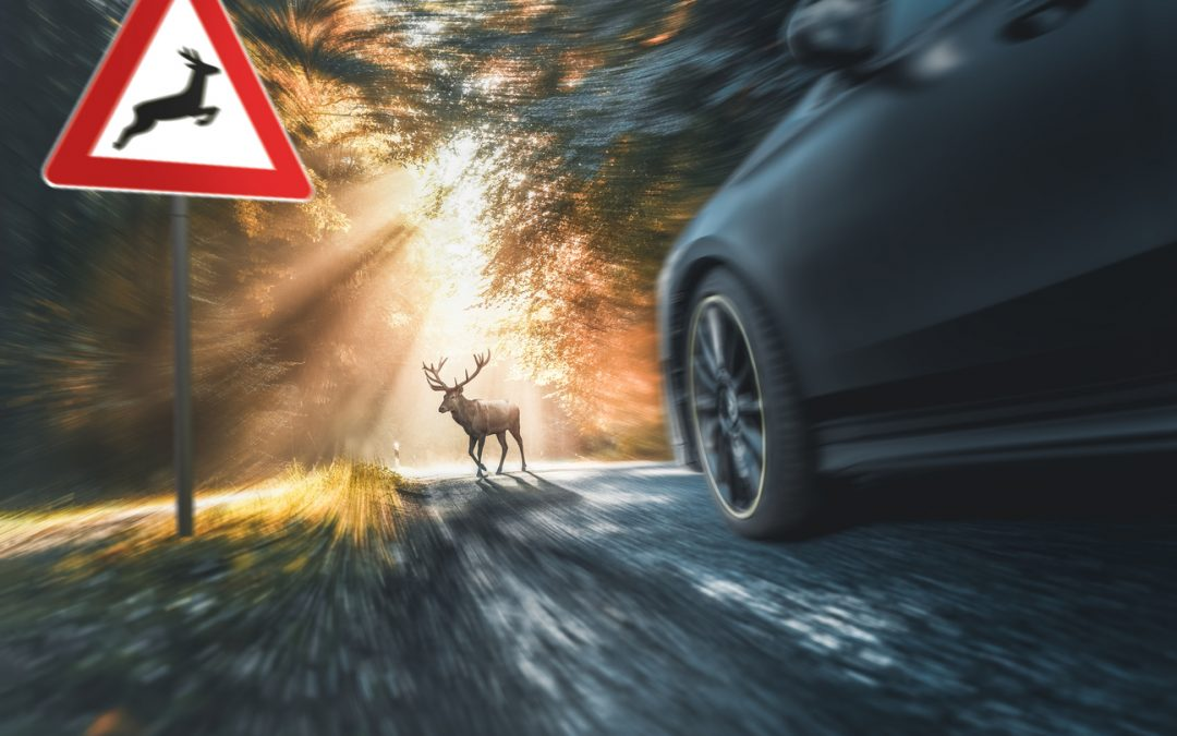 Car accident hitting animal on road